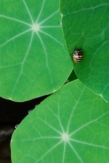 Harlequin Cabbage Beetle, Murgantia histronica