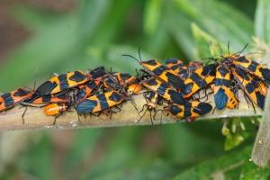 Milkweed Bugs, Oncopeltus fasciatus