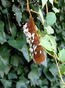 Parasitic wasp eggs on Eastern Swallowtail Caterpillar, Papilio glaucus